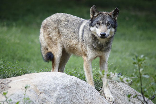 loup mercantour